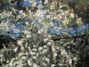 amandelnotenbomen in bloei februari, overwinteren in spanje