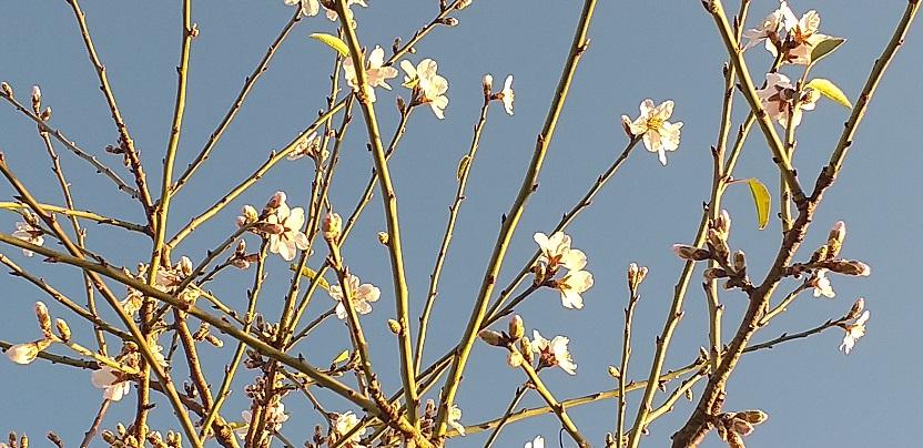 bloei amandelnoten bomen