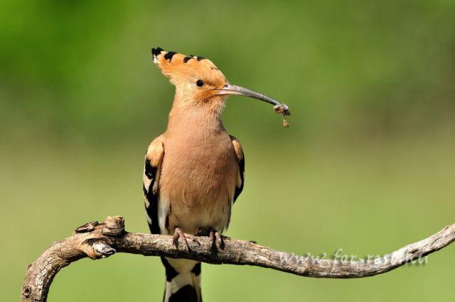 hop, vogel